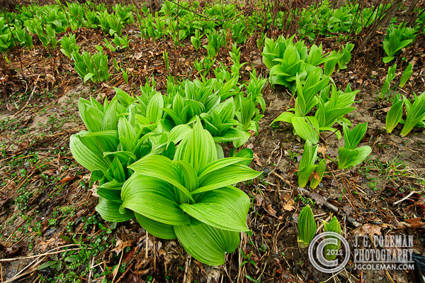 False Hellebore (POTW)
