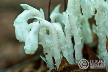 Indian Pipe (POTW large)