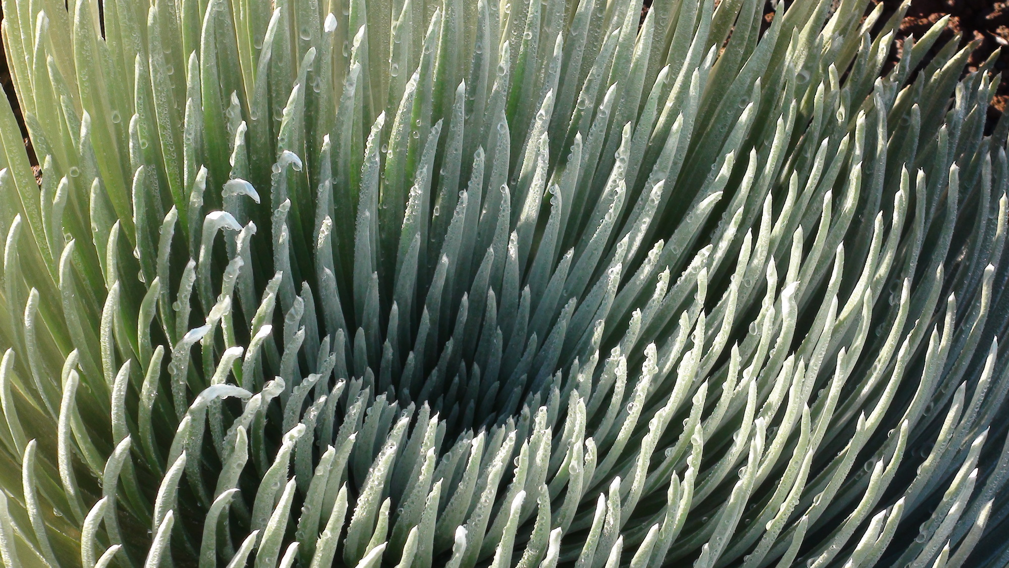 Quick Facts: Haleakala Silversword